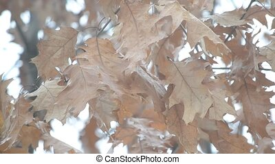 Old dry wizened brown foliage of northern red oak stirred by...