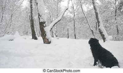 Black dog sitting in snow in forest - Black dog sitting and...