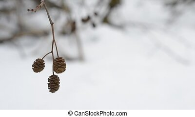 Mature female alder catkins swaying in wind. Alnus -...