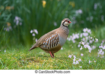 Red-legged partridge - Red legged partridge amongst spring...
