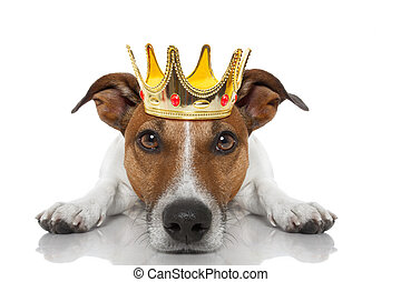 crown king dog - jack russell dog as king with crown looking...