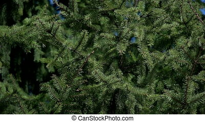 Close-up of fir branches - The first spring gentle leaves,...