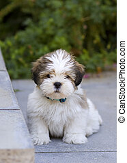 Lhasa apso puppy - Cute lhasa apso puppy sitting on the...