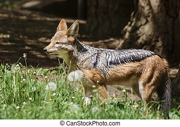 Black-backed Jackal among dandelions