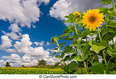 Beautiful summer landscape with sunflowers and clouds