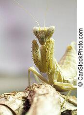 Macro image of an insect Praying mantis