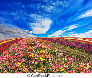The field of ranunculus on  spring day