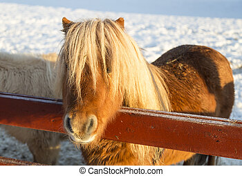 Brown Shetland Pony with snow in the background.