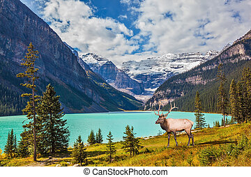 Red deer antlered in Rocky Mountains