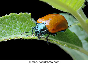 Poplar leaf beetle Chrysomela populi - Bright shiny leaf...