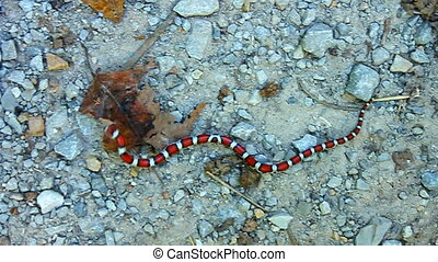 Red Milk Snake in Illinois - Red Milk Snake Lampropeltis...