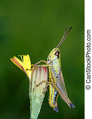 Grasshopper on a flower in a meadow