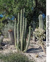 Cactus varieties - Various cactus varieties from north...