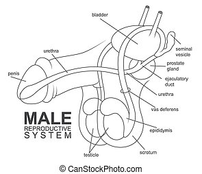 Male reproductive system - Vector Illustration Of Male...