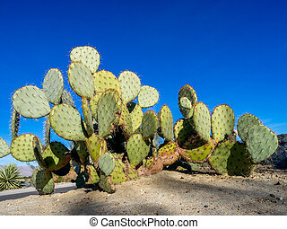 Cactus varieties - Various cactus varieties from north...