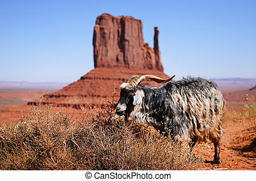 goats at monument valley - goats at the national park day...