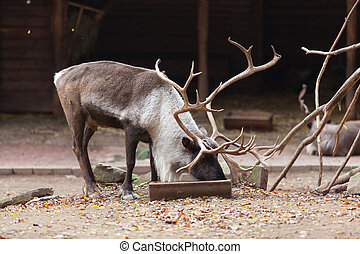 Large male reindeer in Nuremberg zoo
