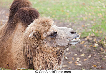 Camel in zoo - Portrait of camel in zoo, Nuremberg