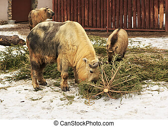 Takin also called cattle chamois or gnu goat - Takin is also...
