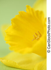 Detail of yellow daffodil on green background. Shallow dof