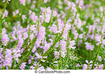 closeup of Physostegia virginiana