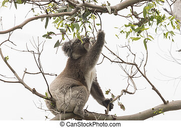 eucalipto, hojas,  Koala, Escoger, comer