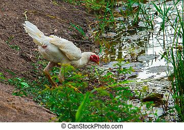 chicken - in the farm