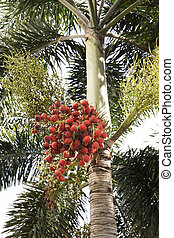 red dates clusters of Palm tree - Closeup of red dates...
