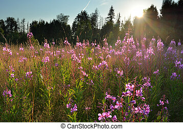 Meadow with willow-herb flowers natural landscape - Natural...