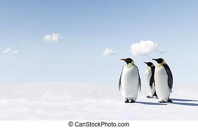 Pengiun - Penguins in Antarctica