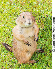 black tailed prairie dog (Cynomys ludovicianus) stand on...