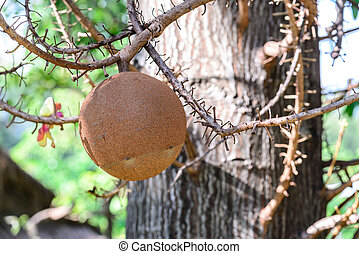 Cannon ball tree fruit.