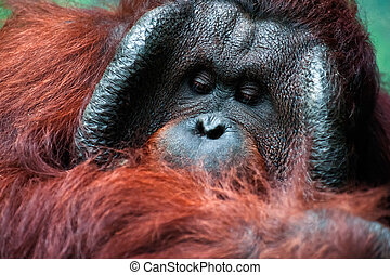 Dominant male orangutan with the signature cheek pads that...