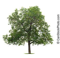 胡桃, 樹