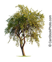 Apple Tree - Apple tree isolated on a white background