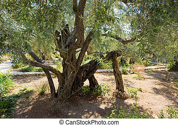 Garden of Gethsemane - Old olive trees in the garden of...