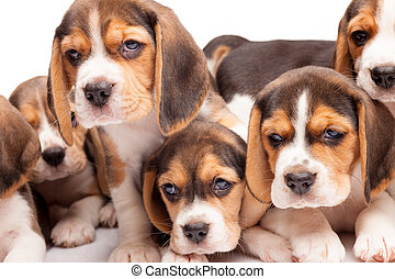 Beagle puppies on white background - Beagle puppy lying on...