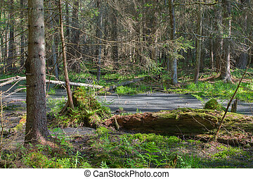 Broken tree roots partly declined inside coniferous stand...