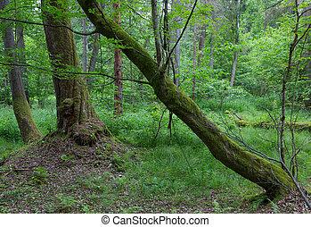 Old hornbeam trees in fall - Old bent hornbeam trees in...