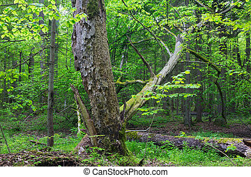 Old monumental Hornbeam TreeCarpinus betulus in front of...