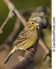 Yellowhammer (Emberiza citrinella) - Female Yellowhammer...