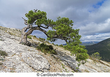 Relict pine on a mountainside. Crimea. - Relic pine tree,...