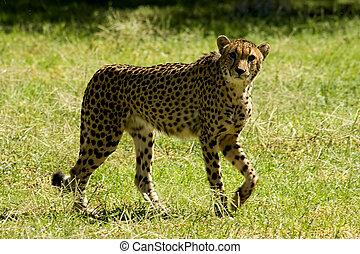 Cheetah - Chetah poised and looking at camera