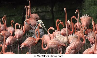 Wild Pink Flamingos in Nature