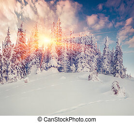 Winter morning in the mountain forest. - Colorful winter...