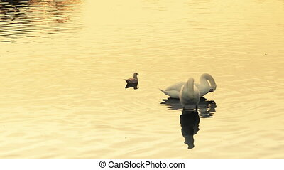 Couple of swans cleaning themselves and a seagull relaxing...