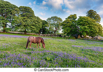 Dartmoor Pony - A Dartmoor pony grazing in a field of...