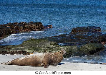 Male Elephant Seal - Male Southern Elephant Seal (Mirounga...