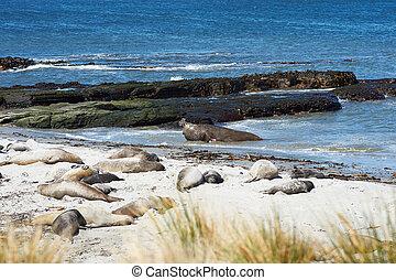 Elephant Seals - Male Southern Elephant Seal Mirounga...
