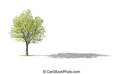 Walnut Tree on White with Shadow